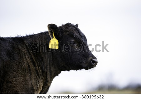 Angus calf in profile with sky background - stock photo
