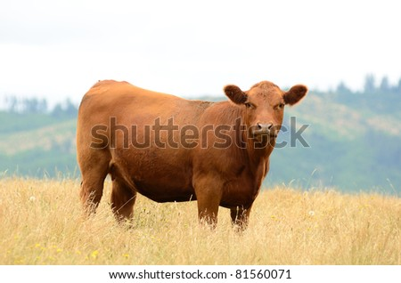Angus cross beef cattle in a summer field near Oakland Oregon - stock photo