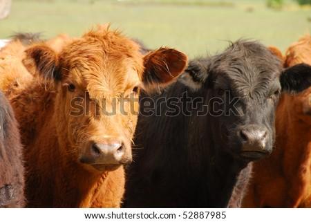 Angus cross steers on a large open field beef ranch near Umpqua Oregon - stock photo