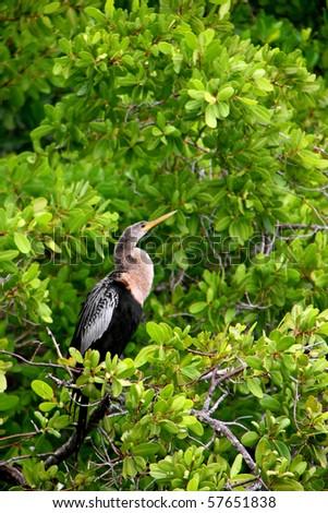 Anhinga Ding Darling Wildlife Refuge Sanibel Florida - stock photo