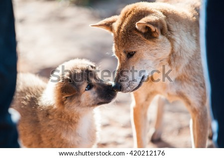 Animal : A mixed Shepherd breed dog mother and her puppy touching noses. relationship between mother and child take a look to each other. blurred image of moment in natural light - stock photo