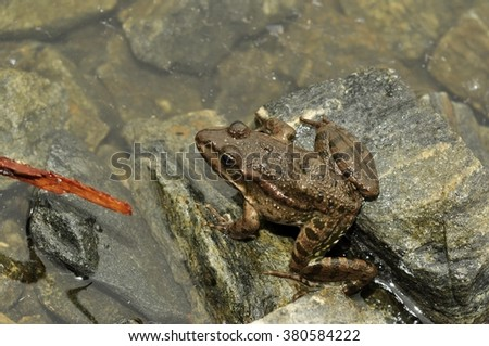 animal amphibian frog on a rock by the lake - stock photo