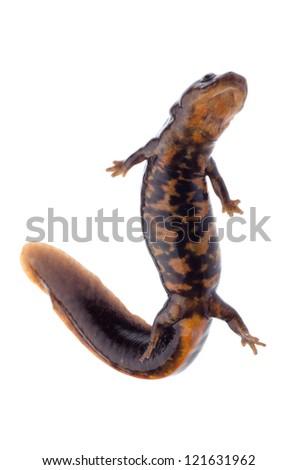 animal amphibian salamander newt isolated - stock photo