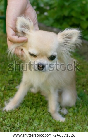 Animal and human friendship, man's hand caressing a small longhair chihuahua - stock photo