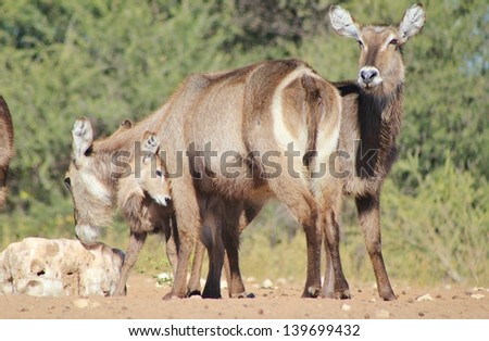 Animal Babies and Moms - Waterbuck - Wildlife from Africa - A calf plays with its mother, showing love towards the cow.  Photo taken in Namibia.