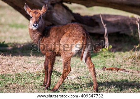 Animal Babies Waterbuck Wildlife from Africa. Portrait of young life. Close up - stock photo