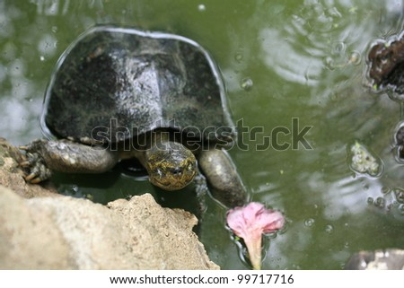 Animal background: big turtle climbing on a rock near the pond - stock photo