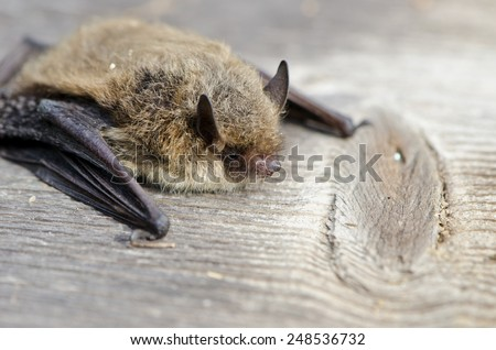 animal  bat Nathusius pipistrelle (Pipistrellus nathusii) on wooden background - stock photo