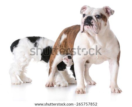 animal behavior - one dog sniffing another dogs backside - stock photo