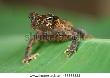 animal camouflage crested toad at night in Bolivian rain forest tropical amphibian in amazon jungle sitting on palm leaf copy space