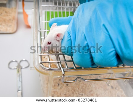 Animal caretaker takes white laboratory mouse from top of the cage - stock photo