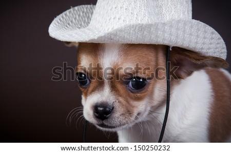 animal, dog breed, pet, puppy - stock photo