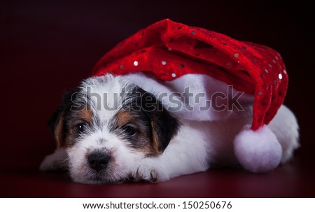 animal, dog breed, pet, puppy, Christmas and New Year