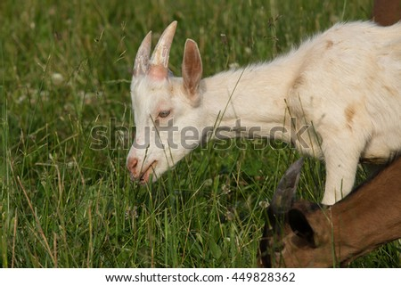 animal domestic breeding goats for meat or milk