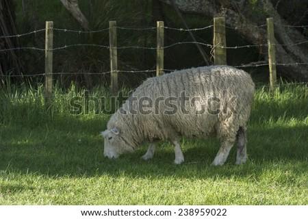 Animal farm with grazing sheep. New Zealand - stock photo