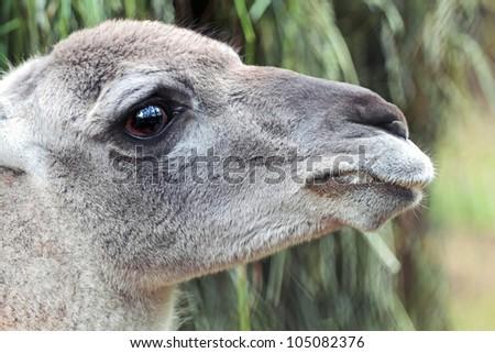 Animal Guanaco, Lama On Outdoor - stock photo