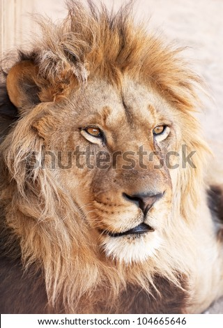 animal head portrait of african male lion - stock photo