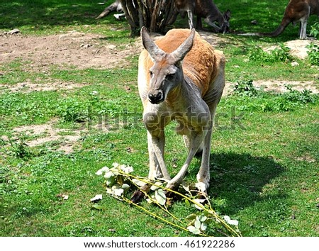 animal in nature - Kangaroo