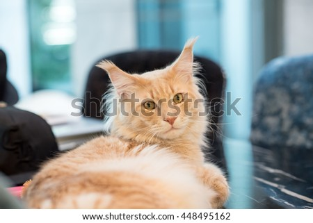 Animal : Maincoon Cat Lying on the table.The American Longhair, also known as Maine Coon, is the biggest domesticated breed of cat with a distinctive physical appearance and high level hunting skills