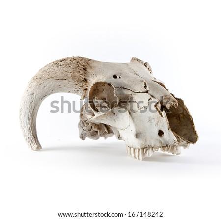 Animal skull isolated on white - stock photo