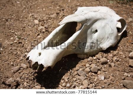 animal skull on the ground - stock photo