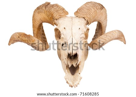 Animal skull with big horn isolated isolated on white - stock photo