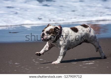 Animal sport: A bulldog run in the beach - stock photo