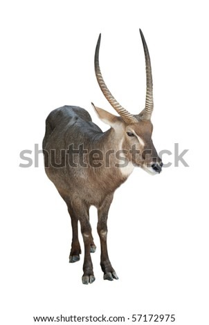 animal waterbuck isolated on white