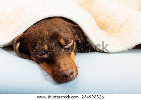 Animals at home. Dachshund chihuahua and shih tzu mixed dog relaxing sleeping on bed under woolen blanket indoor - stock photo