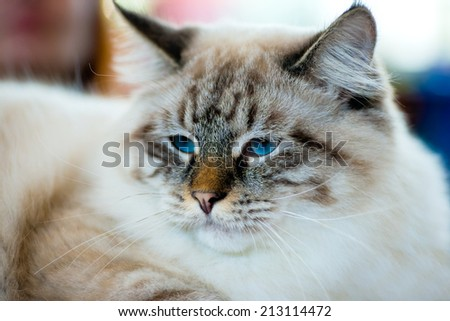 Animals: close-up portrait of blue-eyed Ragamuffin cat - stock photo