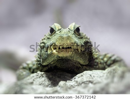 Animals: close-up portrait of dwarf crocodile (Osteolaemus tetraspis) - stock photo