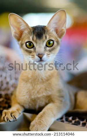 Animals: close-up portrait of young abyssinian cat - stock photo