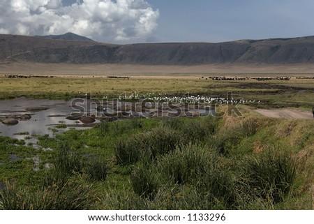 animals hippos - stock photo
