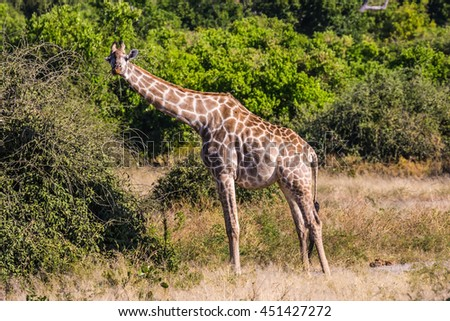 Animals in South Africa. The famous Kruger National Park. Giraffes feeding eating around the treetops - stock photo