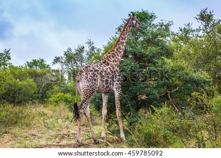 Animals in South Africa. The famous Kruger National Park. Giraffes graze, eating the tops of trees