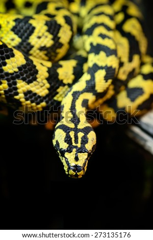 Animals: jungle carpet python, Morelia spilota cheynei, on a tree branch, close-up shot - stock photo