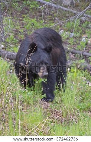 Animals of Canadian Rockies - stock photo