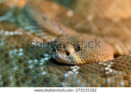 Animals: red diamond rattlesnake, Crotalus ruber, close-up head shot, selective focus, shallow depth of field - stock photo