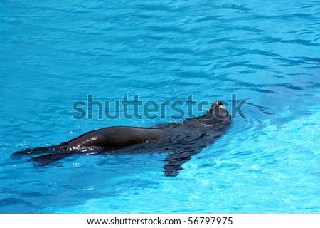 Animals - Sea lion swimming in blue swimming pool. - stock photo