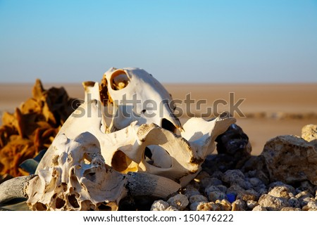 Animals skulls and bones in the Sahara Dessert. - stock photo