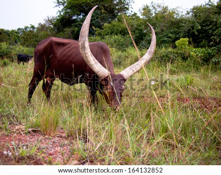 Ankole Watusi bull is grazing - stock photo