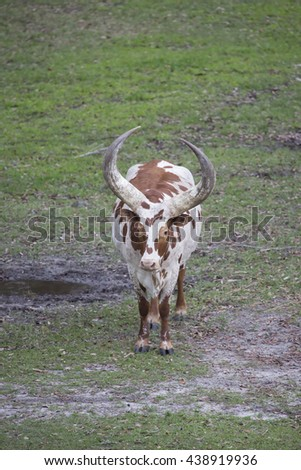 Ankole - Watusi cattle brown and white in the grass with huge horns.