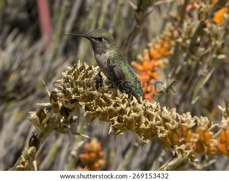 Anna's Hummingbird, Calypte anna, sitting on a desert flower