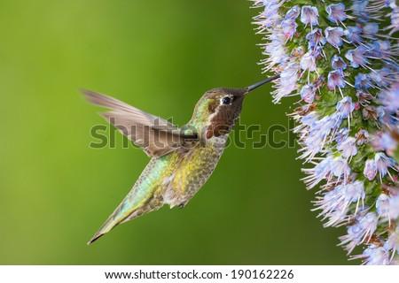 Anna's Hummingbird Looking For Food  - stock photo