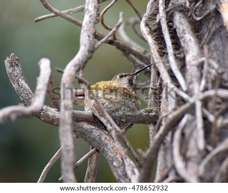 Anna's Hummingbird sitting on her nest in Santa Monica, California