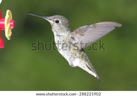 Annas Hummingbird (Calypte anna) in flight at a feeder with a green background - stock photo