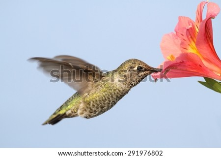 Annas Hummingbird (Calypte anna) in flight with a flower and a blue background - stock photo