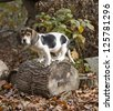 Annie the Beagle Basset Puppy standing on a log surround by leaves with sad eyes and floppy ears. - stock photo
