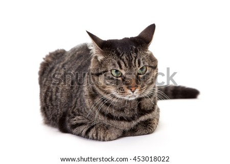Annoyed gray striped tabby cat with ears back laying down isolated on white
