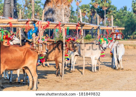 Annual fair beautiful cow contest Phetchaburi Asia Thailand